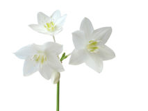 Eucharis grandiflora. Isolated on white background royalty free stock photography