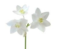 Eucharis grandiflora Royalty Free Stock Photography