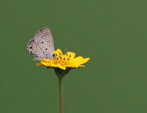 Euchrysops Cnejus Butterfly Stock Images