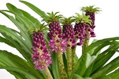 Eucomis 'Aloha Lily Leia'. With white background Royalty Free Stock Images