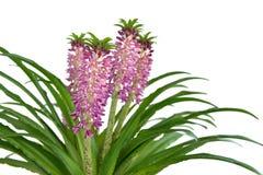 Eucomis 'Aloha Lily Leia' Stock Images
