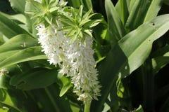 Eucomis autumnalis,秋天菠萝花,秋天菠萝百合 库存图片