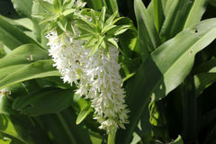 Eucomis autumnalis, Autumn pineapple flower, Autumn pineapple lily Stock Image