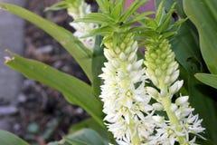 Eucomisautumnalis, de bloem van de de Herfstananas, de lelie van de de Herfstananas Stock Foto's