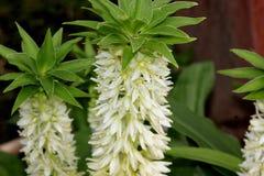 Eucomisautumnalis, de bloem van de de Herfstananas Royalty-vrije Stock Afbeeldingen