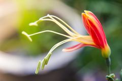 Eucrosia bicolor red flowers Royalty Free Stock Images
