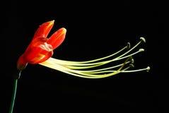 Eucrosia bicolore Fotografia Stock