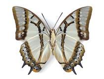 Eudamippus van Polyura (onderkant) Royalty-vrije Stock Afbeeldingen