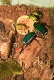 eudicellagralli arkivbilder