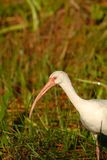 Eudocimus albus Stock Images