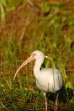 Eudocimus albus stock image