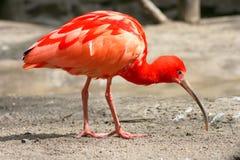 eudocimus IBIS ruber猩红色 免版税库存图片