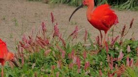 eudocimus IBIS ruber猩红色 股票视频