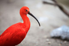 eudocimus IBIS ruber猩红色 免版税库存照片