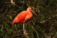 Eudocimus ruber 猩红色朱鹭是家庭朱鹭的一只中型涉水鸟 免版税库存图片