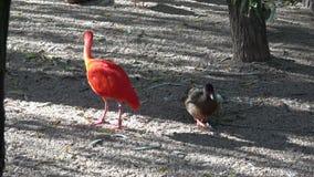 Eudocimus-ruber Helles rotes Vogel Scharlachrot IBIS stock video