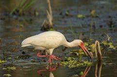 eudocimus white ibisa albus Zdjęcie Stock