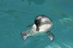 eudyptula神仙的较小企鹅 库存照片