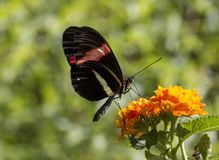 Eueides isabella butterfly royalty free stock photo