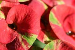 Eufórbio cor-de-rosa Milii foto de stock royalty free