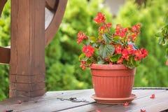 Eufórbio Coroa do milii do eufórbio da flor do Natal de espinhos no potenciômetro de flor Imagem de Stock