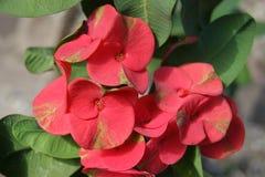 Euforbia kwiaty fotografia stock