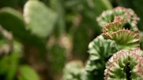 Euforbii czubata wiecznozielona pustynna roślina kultywująca jako ornamentacyjny w ogródzie Sukulentu tło, naturalny wzór zbiory