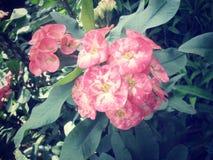 Euforbii milii - czerwony kwiat Zdjęcie Royalty Free