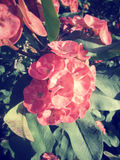 Euforbii milii - czerwony kwiat Zdjęcia Stock