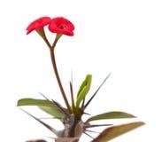 Euforbii milii kwiat odizolowywający Obraz Royalty Free