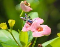 Euforbii milii kwiat z pająk os insektem obraz royalty free