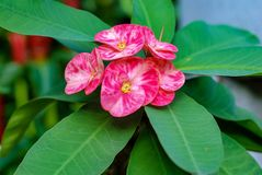 Euforbii Milii kwiatu kwitnienie obrazy stock