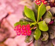 Euforbii milii lub korona ciernia kwiat Fotografia Royalty Free