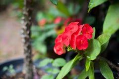 Euforbii milii młoda roślina w tylnym garnku Obrazy Royalty Free