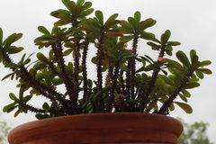 Euforbii milli który żadny kwiaty na drzewie, Fotografia Royalty Free