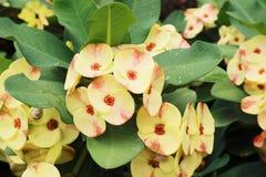 Euforbii milli, piękny kwiatu koloru kwitnienie w ogródzie Zdjęcie Royalty Free