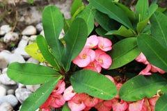 Euforbii milli, piękny kwiatu koloru kwitnienie w ogródzie Fotografia Royalty Free
