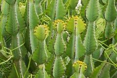 Euforbii rośliny dorośnięcie przy Ngorongoro krateru konserwacji terenem w Tanzania, Afryka Wschodnia fotografia stock