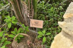 Euforbii trigona Fotografia Stock