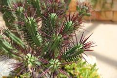 Euforbio del acerico - cactus con los puntos púrpuras imágenes de archivo libres de regalías
