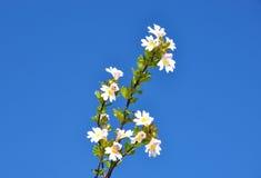Eufrasia (officinalis de Euphrasia) Fotografía de archivo libre de regalías