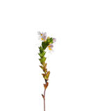 Eufrasia (officinalis di Euphrasia) Fotografia Stock