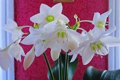 Euharis  plant Royalty Free Stock Photography