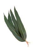 eukaliptusów aromatyczni liść Zdjęcia Stock