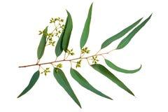 eukaliptus Zdjęcia Stock