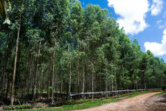 eukaliptus Obraz Royalty Free