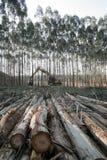 eukaliptus Obraz Stock