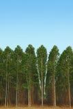 eukaliptus Fotografia Stock