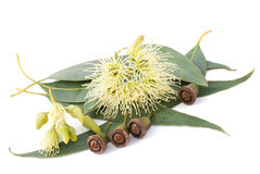 Eukaliptus Obrazy Royalty Free
