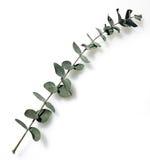 eukaliptus Zdjęcie Stock